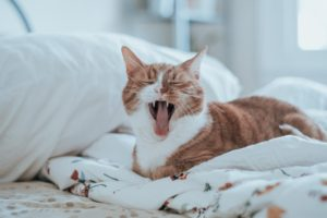 cute cat yawning